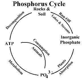 ciclo del fosforo