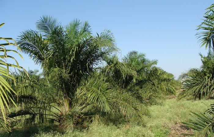 glicidolo e olio di palma-chimicamo