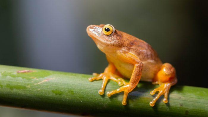 Scoperta di una rana fluorescente- chimicamo