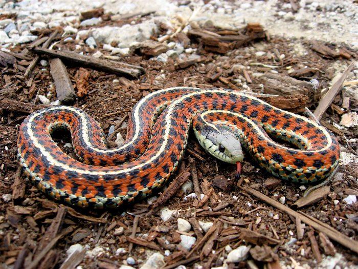 Il serpente del faraone- chimicamo
