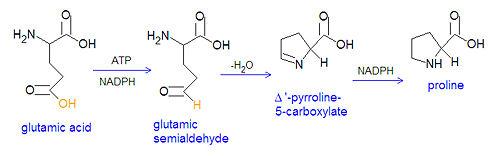 biosintesi prolina