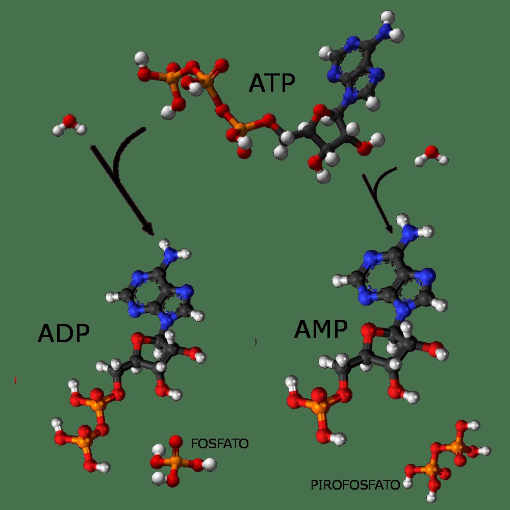 ATP: energia rilasciata nell'idrolisi - chimicamo